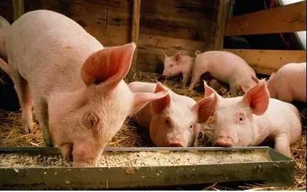 中兽药与养猪问答精选:中药可以加入颗粒吗?母猪用什么中药补气补血?猪的保健...