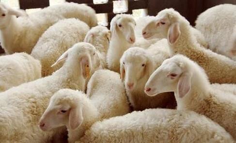 三伏天如何科学养羊?三伏天养羊技巧简介