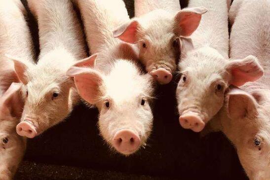 生猪市场分:生猪价格下跌,仔猪价格上涨