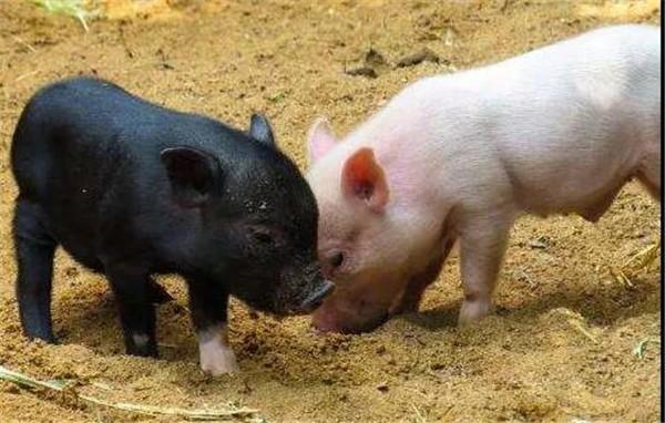 """猪肉价格""""下滑"""""""