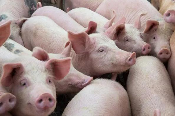 暴跌30%!生猪平均价格创下今年新低。分析师:未来会跌!