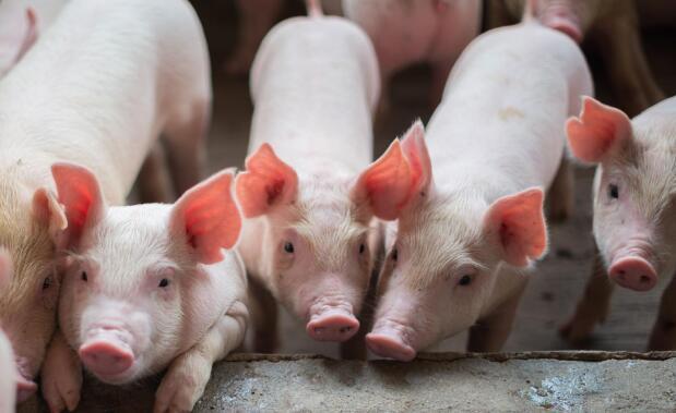 猪肉价格已经下跌了12周,多部门的反应已经释放出长期的好处