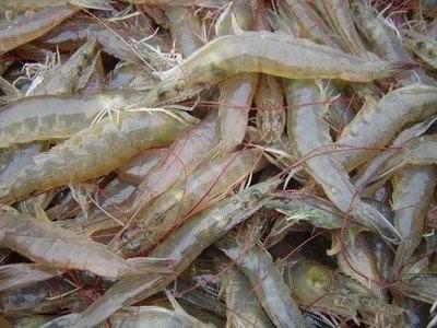 南美白对虾高产养殖技术