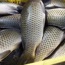 保护生物多样性南四湖220万条鲢鱼增殖放流