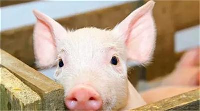 生猪市场小幅上涨,北方的强势带动南方上涨。猪价还能涨多久?