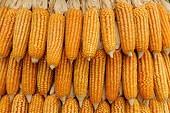 玉米市场的博弈日趋激烈,市场有望长期不变