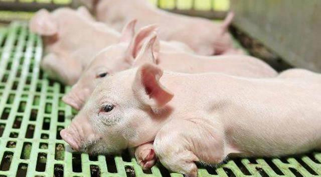 养一只猪的损失已经超过生猪500元的价格了吗?