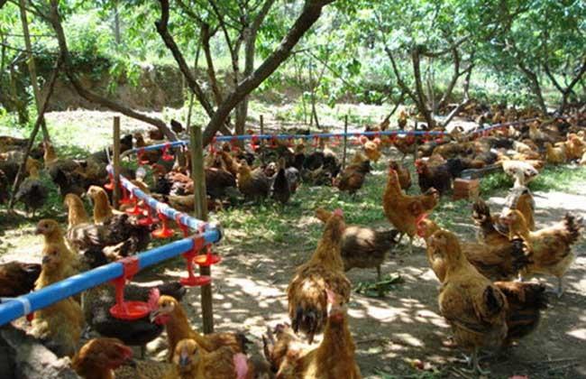 鸡场怎么建,不同规模的鸡场各有什么侧重点?