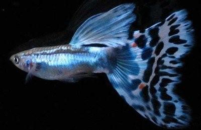 凤尾鱼每斤多少钱?凤尾鱼繁殖的条件是什么?