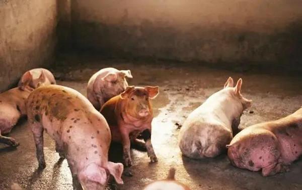 我们的猪体温低。别慌。以下是如何及时获取温度
