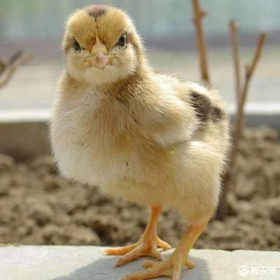 """鸡的价格飙升了400%。""""鸡循环""""回来了吗?"""