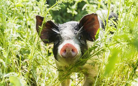 生猪价格大面积下跌。猪肉离降价还远吗?专家:2个好消息