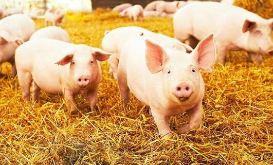 这种猪病夏季发病率高,威胁不亚于非洲猪瘟。养猪的一定要警惕!