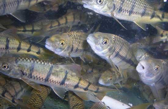 石斑鱼的价格是多少?石斑鱼的养殖周期有多长?