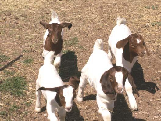 引进初期如何饲养波尔山羊?有哪些饲养管理技巧?