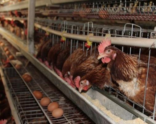 蛋鸡春季的三大防御