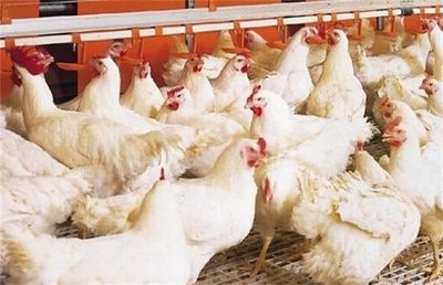 4月15日,CFT鸡肉评论称,鸡蛋和鸡肉价格继续波动,肉鸡价格继续上涨。鸡的价格继续下跌