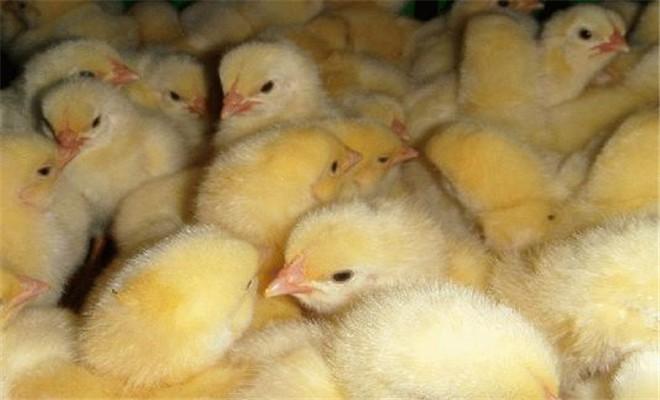 提高肉种鸡整齐度的技术