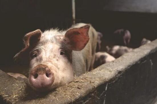 生猪供应明显恢复,生猪价格将恢复正常