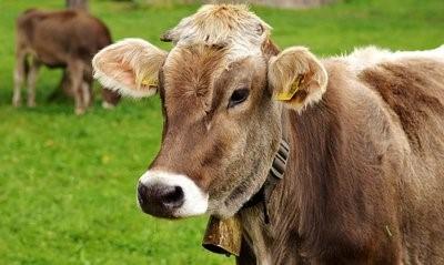 阿牛一每年需要准备多少草料?养牛如何准备草料?