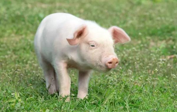 四季养猪的不同增重技巧?
