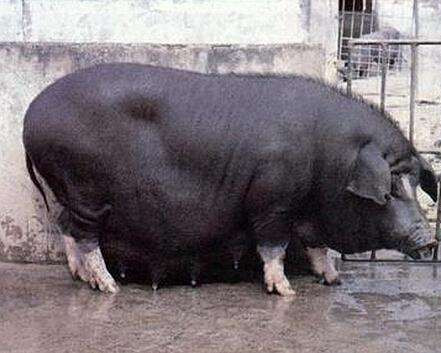 夏季饲养大河乌猪应注意的事项